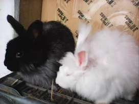 Breeder pair angora rabbet black and white