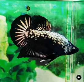 Ikan cupang black samurai pair