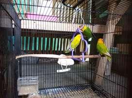 burung lovebird borongan murah