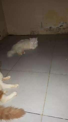 Kucing persia hamil . Edisi pindah kota