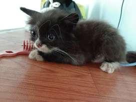 Kucing persia 2 bulan betina