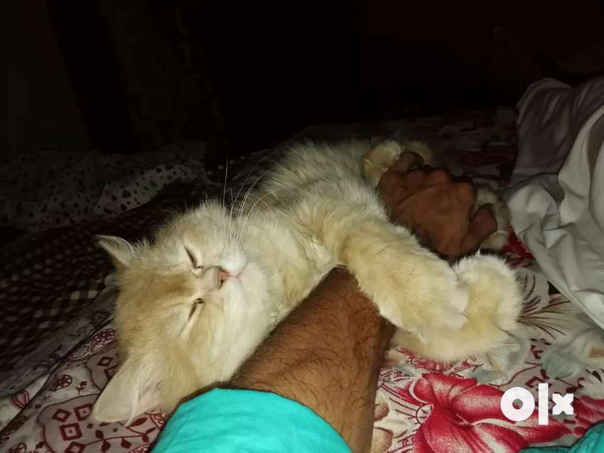 Persian male cat 11 months old 0