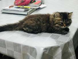 Persian cat double coated