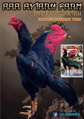Anak ayam bangkok import pakoy
