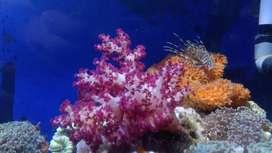 Ikan hias laut lampung