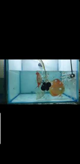 Discus fish babies for sale