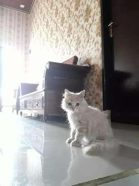 Anakkan kitten kucing persia medium