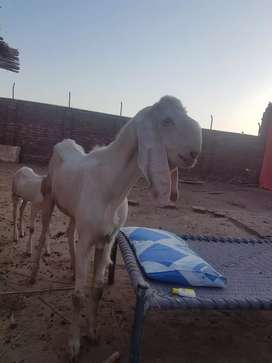 Pure gulabi rajanpuri breed goats
