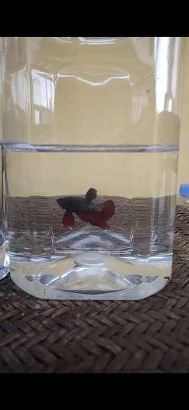 Ikan Cupang Red Cooper