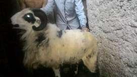 Domba Akikah Aqiqah Berkah Bermanfaat