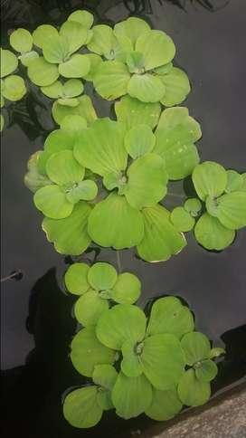 tanaman apung buat kolam ikan
