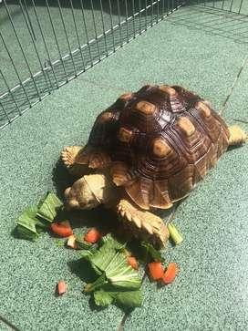 Kura kura darat sulcata torto tortoise