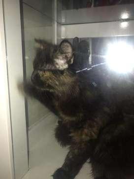 Kucing anggora gemuk murah