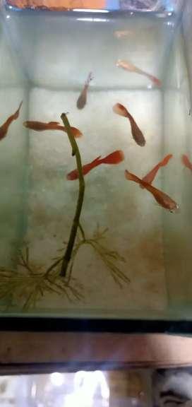 Ikan guppy afr berkualitas
