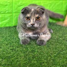 Kucing scottish fold betina blue cream anakan import