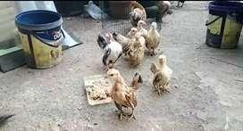 ayam serama anakan