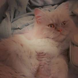 Pure persian cat (Male)