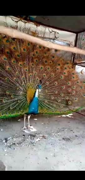 Black shoulder Peacock two male for sale Age 3year