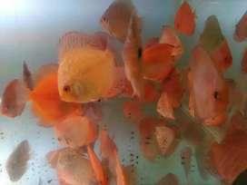 Grosir Ikan Discus