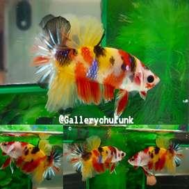 Ikan cupang plakat nemo candy 01