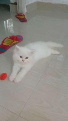 Persian semi punch cat