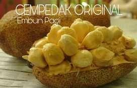 Bibit Pohon Buah Cempedak Original Aroma durian