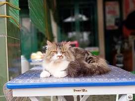 LA kucing persia