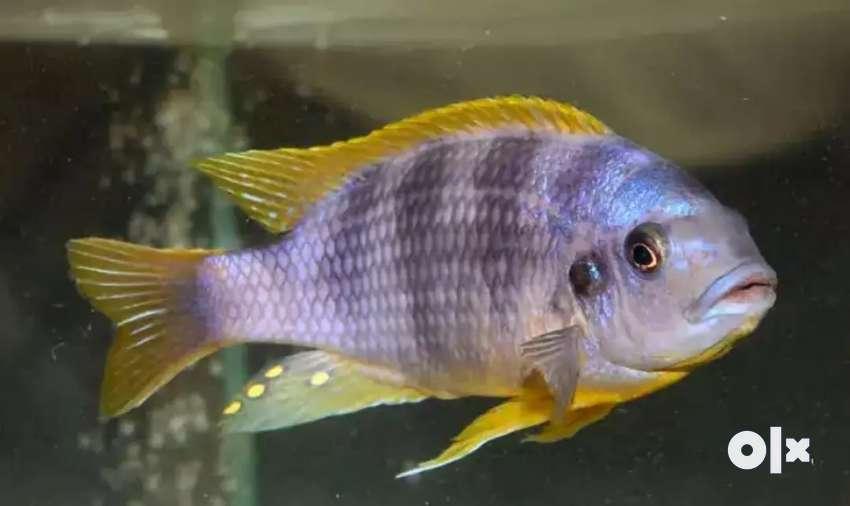 petrotilapia cichlids fish 0