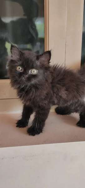 High Quality Persian Kitten male and female