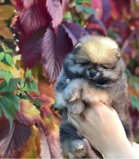 Anjing super mini pom german splitz pure jantan