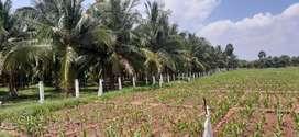 Coconut farm agricultural