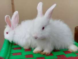 Angora Bunnies Rabbits
