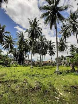 Pohon Kelapa di Suwawa