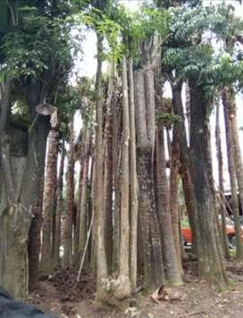 Jual pule batang putih gruping