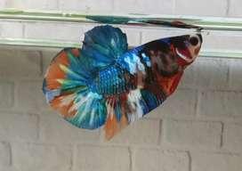 Ikan Cupang Nemo Galaxy