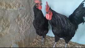 Australorp breeder for sell