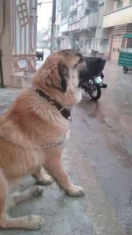 Afghan kuchi Dog,2 years old,Healthy fit