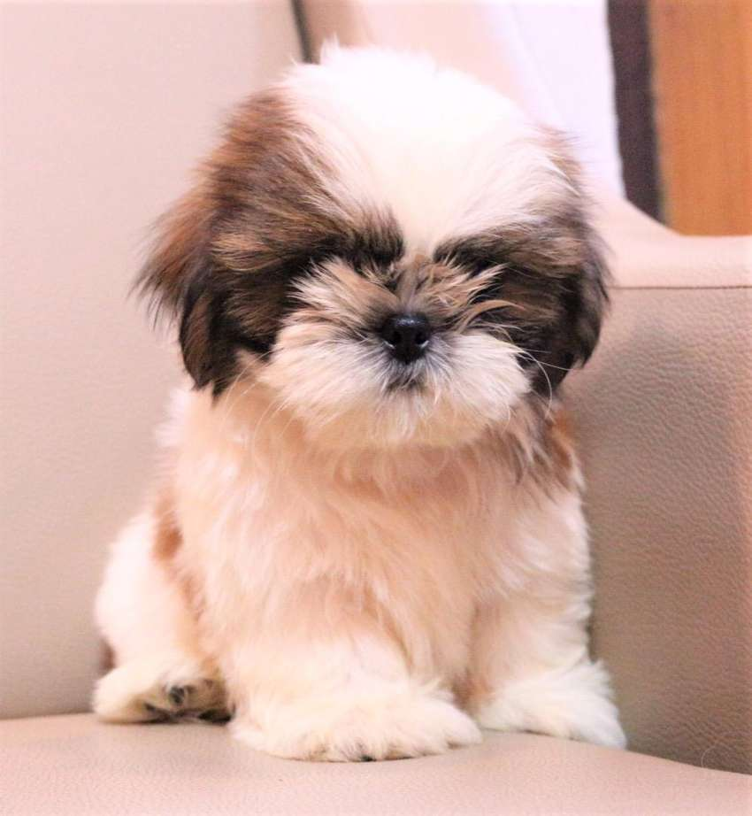 Top quality cottonball shihtzu puppies from imported line best in town 0