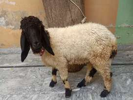 Beautiful and healthy sheep for sale