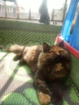 Persian cat 1 yrs