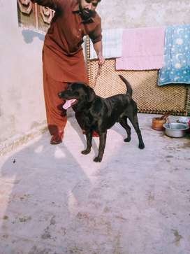 American Labrador male for sal low price