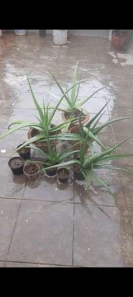 Alovera plants with pot