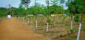 50 cents agricultural mango garden 30feet road facing
