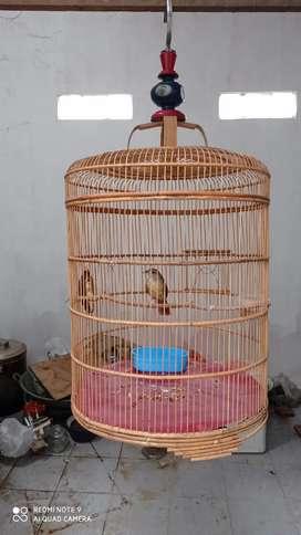 Burung Kapas tembak