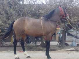 Zuljina horse for sale, 4 years old