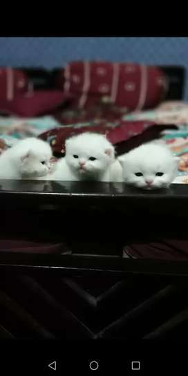 Female Persian kitty's