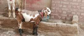 Male Goat Kid for Sale in very cheap price