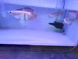 Ikan Arwana Arowana Super Red Chip Tanam