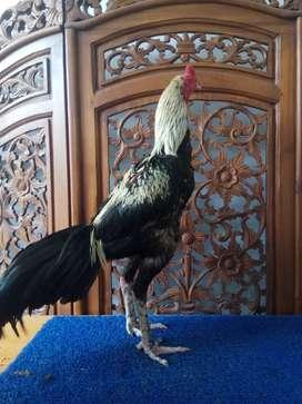 Pejantan Pacek dan Babon di Aceh