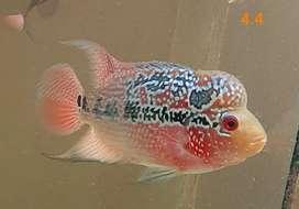 Ikan Louhan SRD gen Merah